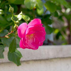 rose at fuuplace