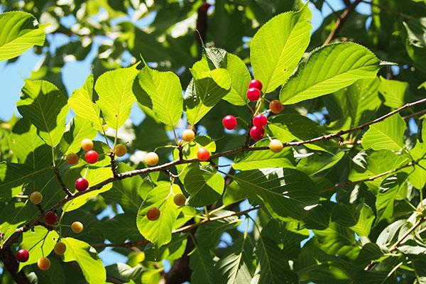 bluesky_redfruit