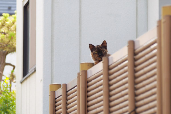 覗く猫 チイちゃん