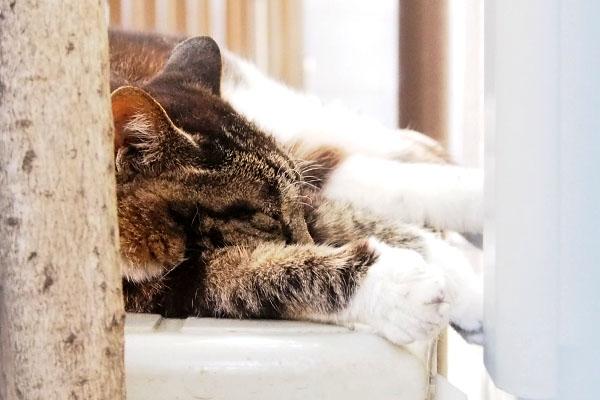 コウライちゃんのお昼寝
