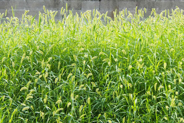green foxtail field