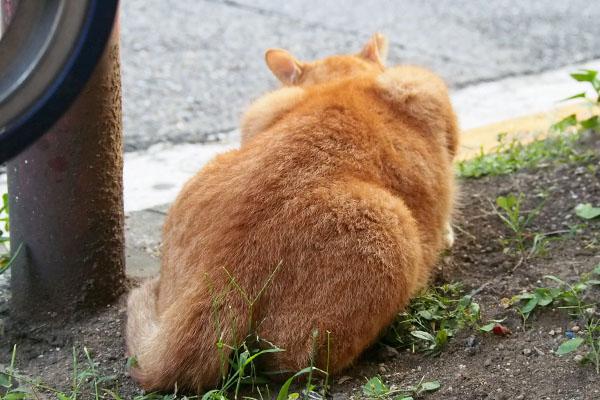 草を食べている後ろ姿カブ