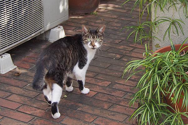 キジ白猫リンの後ろ姿ボブテイル