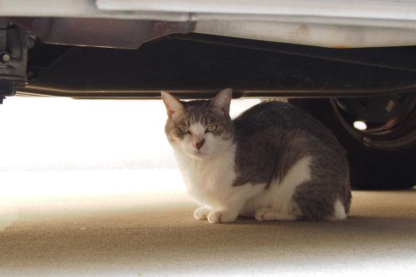 サバ白猫シュガー車の下の猫1