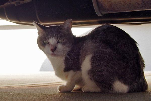 サバ白猫シュガー車の下の猫