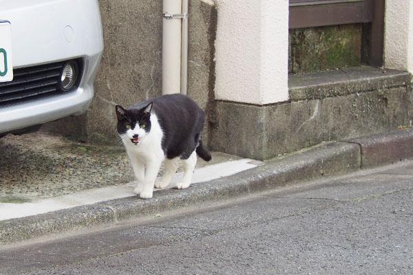 白黒猫ハチワレマシュー鳴く