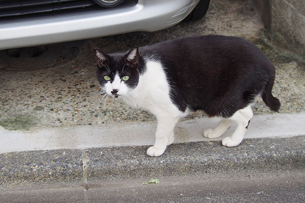 白黒猫ハチワレマシュー全体