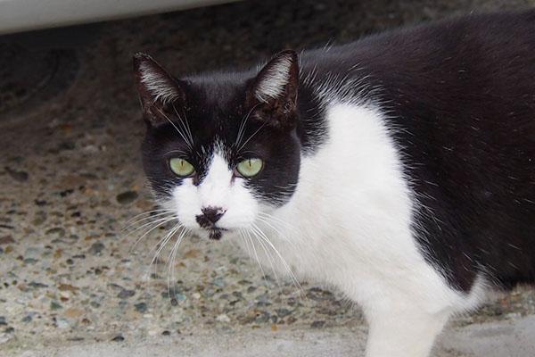 whitenadblackcat白黒ハチワレマシューアップ