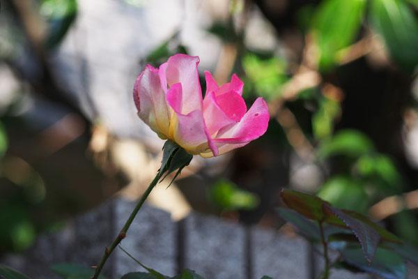 back side of rose petal