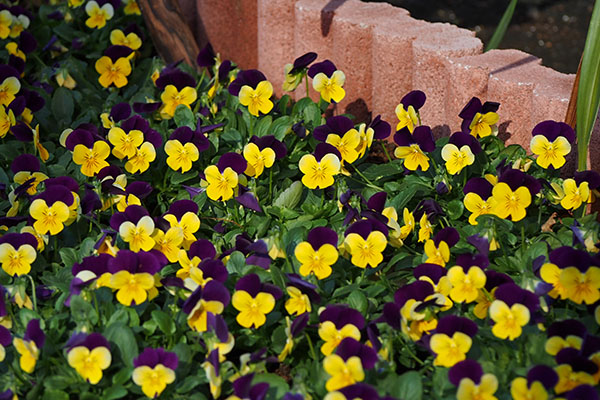tiny flower bed of pansy
