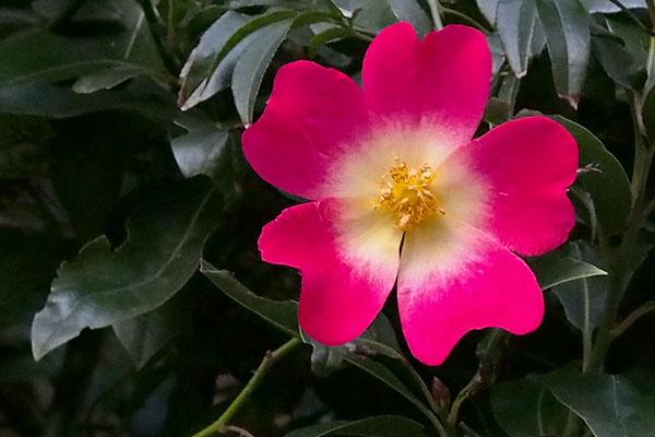 a kind of rose