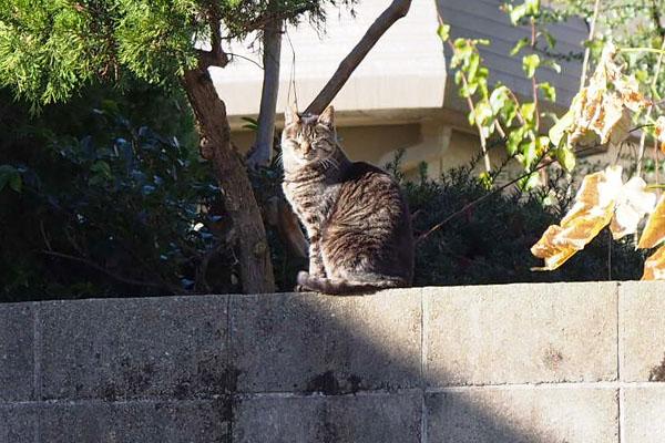 キリちゃん塀の上ギリギリ日向
