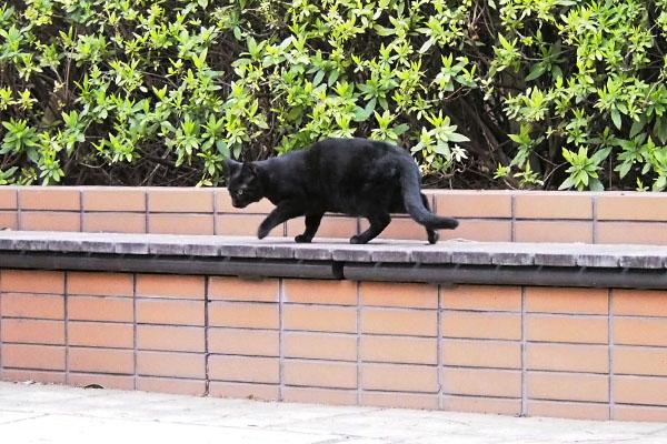 本物の黒猫クリル
