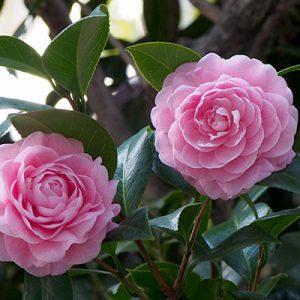 pink cameria