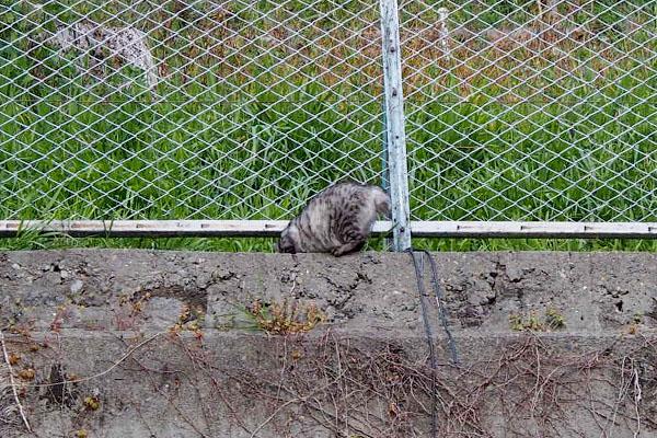 フェンスを潜ろうとしているシルバ