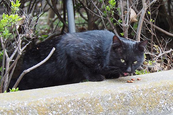 ペロンとうまうま黒猫さん