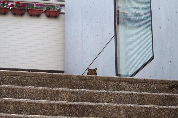 階段に上がったコウライ