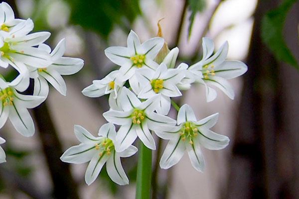small wihte star flower