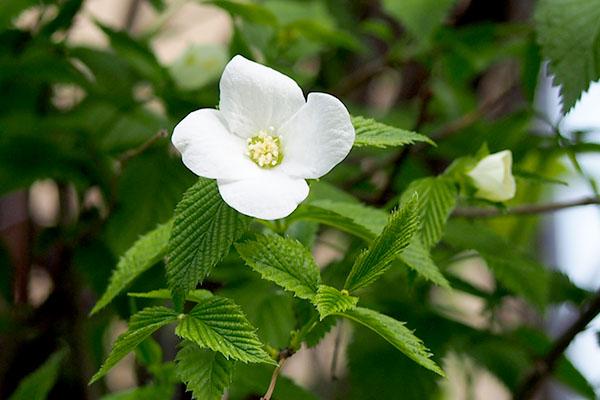 white small flower face