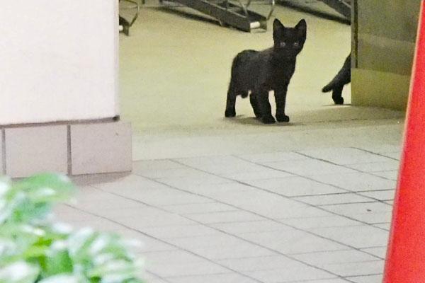 こっち見ている仔猫