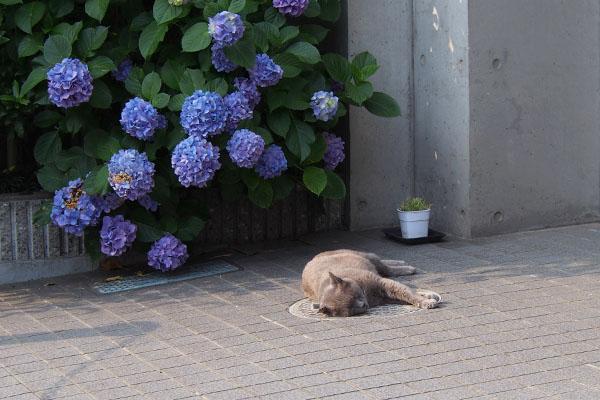 紫陽花の前でロシグレ君