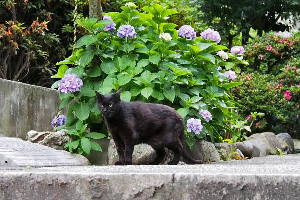 アカシと紫陽花