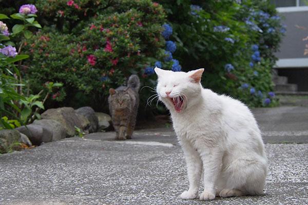 ハクのあくびを見るタビゾンヌ