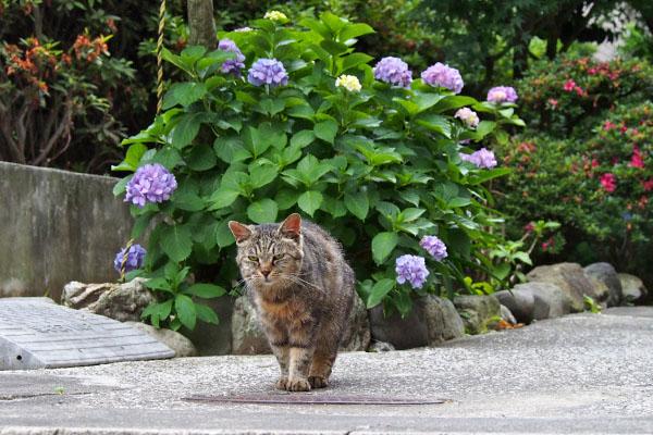 タビゾンヌと紫陽花3