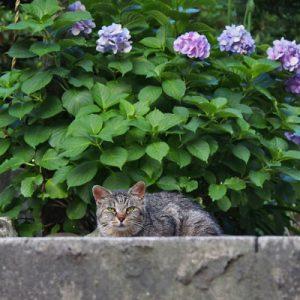 タビサンクと紫陽花1