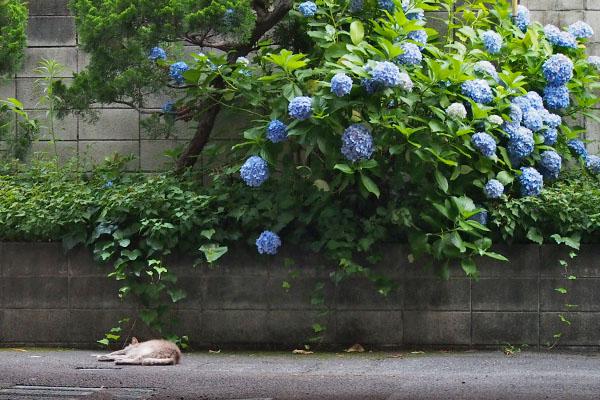 ファンタジー紫陽花と添い寝