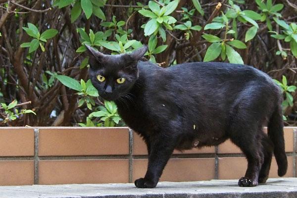 黒猫ちゃん イカ耳