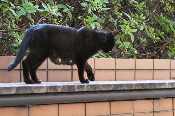 黒猫ちゃん 母のお乳