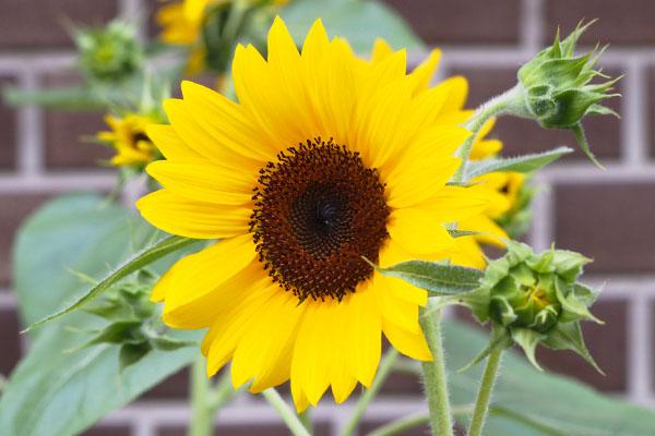 sun flower cl