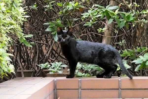黒仔猫 歩いて立ち止まる