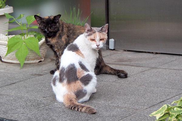こちらを見るみけ姉とサビチッチ