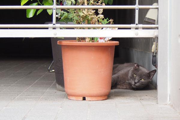 ロシグレ君 鉢の横1