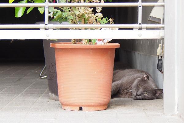 ロシグレ君 鉢の横2