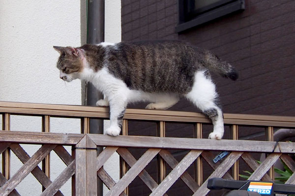 momo walk on the fence