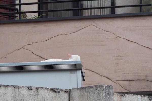 白猫と思わせる アイル
