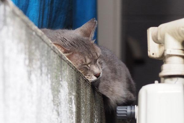 塀の上で寝ている グレー猫