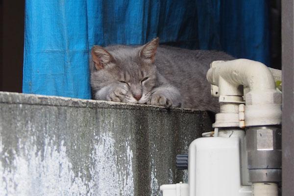 グレー猫 眠さが勝つ