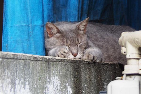 グレー猫 前足投げ出し寝入る