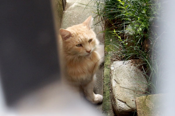見上げる猫 ラガマフィン
