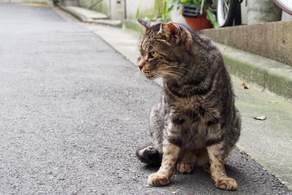 睨む猫 キジトラ 雌猫