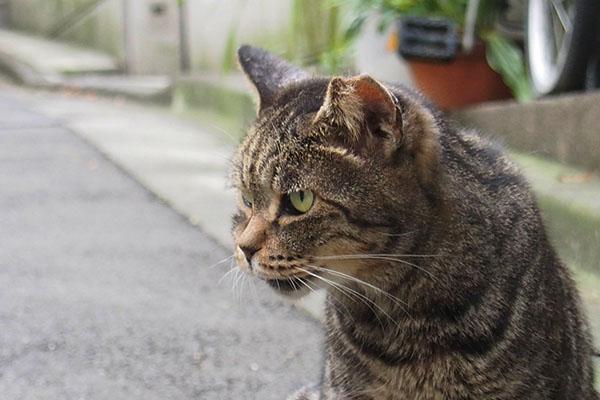 睨む猫 雌猫 キジトラ