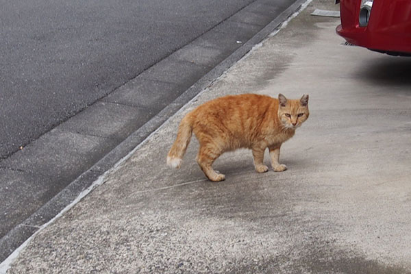 歩きながら振り返る猫