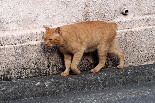 歩く猫 茶トラ ボブテール