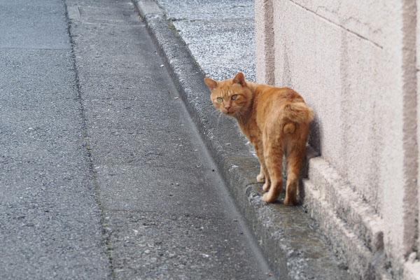 振り返る猫 未去勢のオス猫
