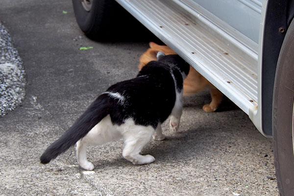 白黒猫が茶トラに近づく
