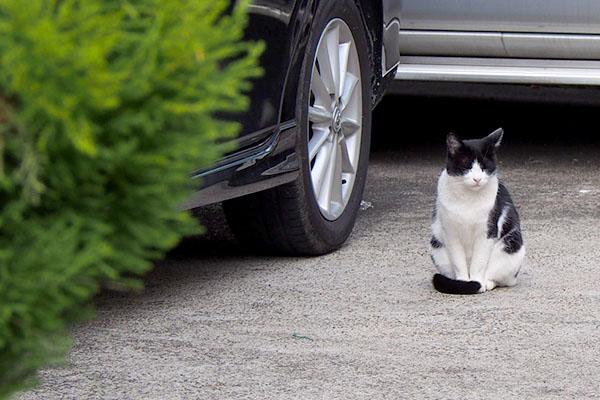 白黒猫 しっぽマフラー